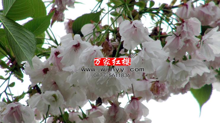 永源寺樱花