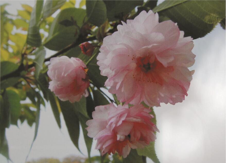兼六园菊樱花