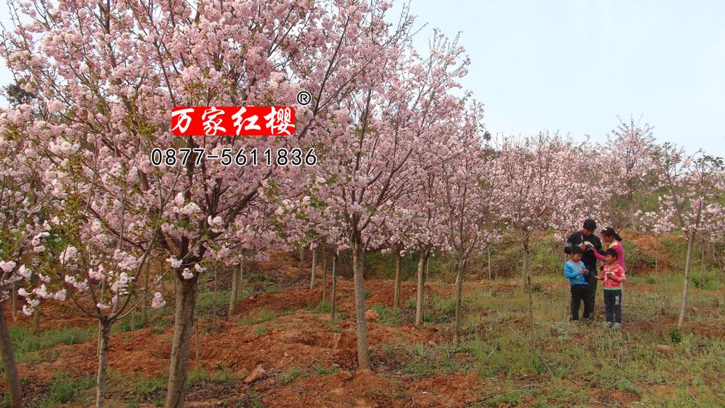 八重红大岛樱花
