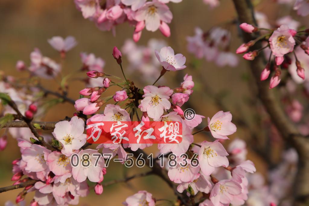 江户彼岸樱花