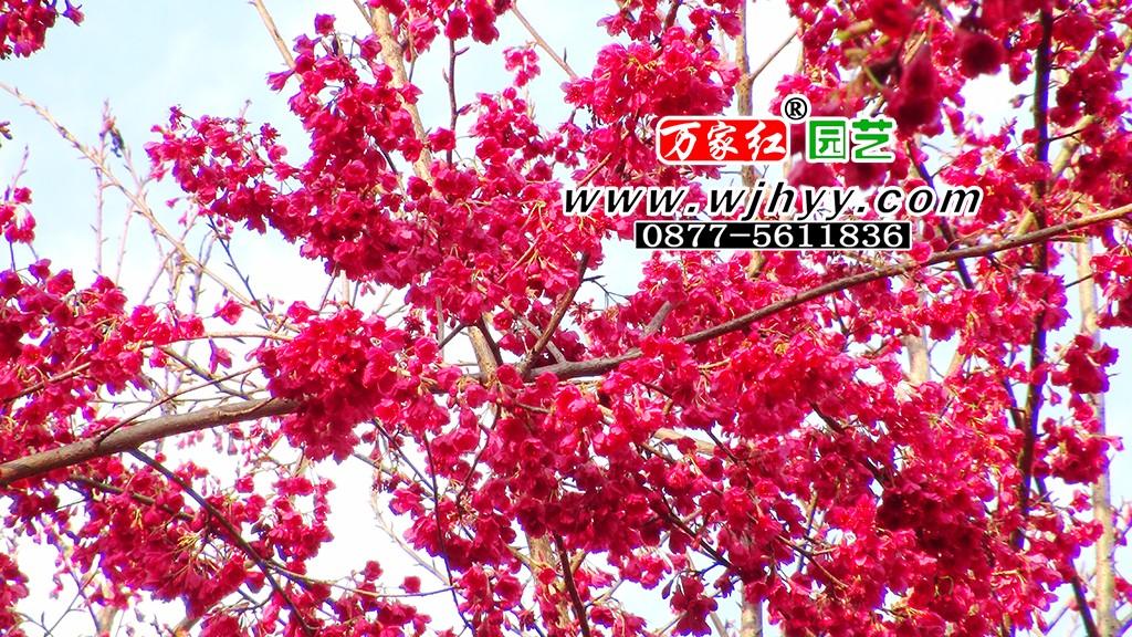 云南红樱花