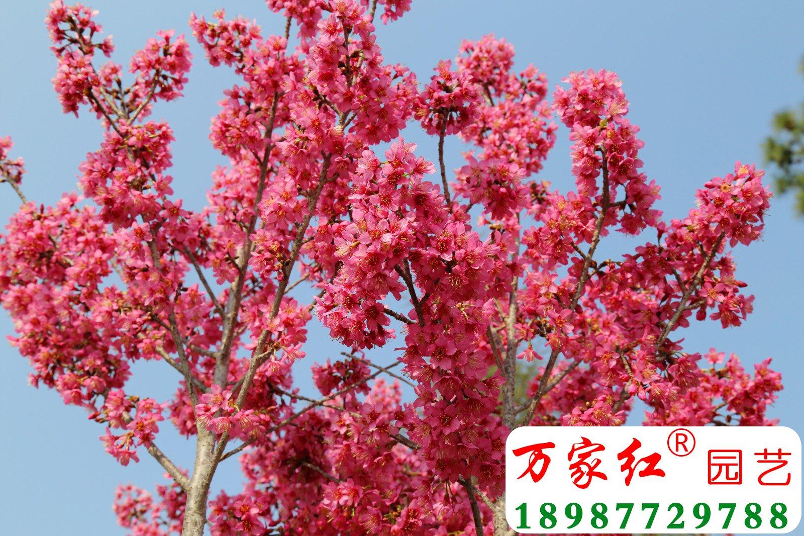 琉球菲寒樱花
